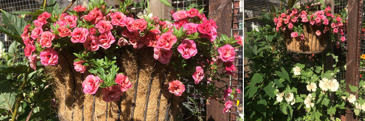 petunia rosebud peachy - summer 2017
