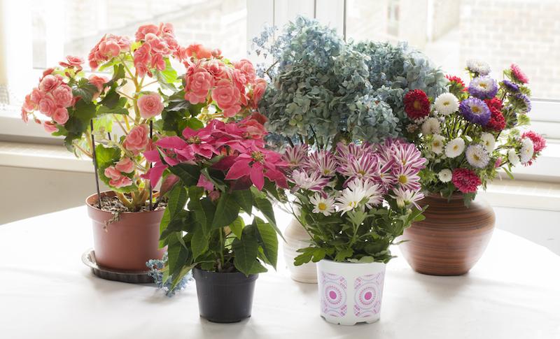 indoor plants flowering
