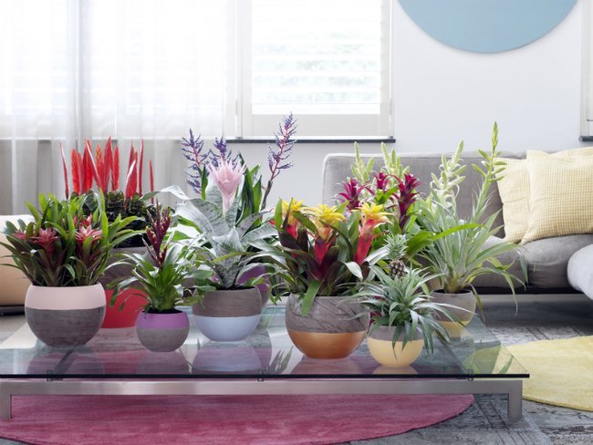 bromeliads joy of plants