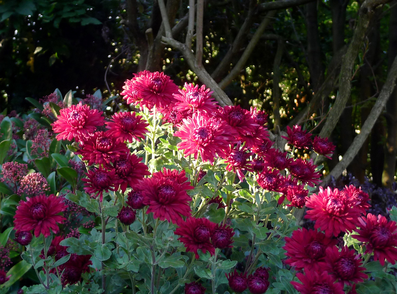 chrysanthemums blooming for the amateur plantsman