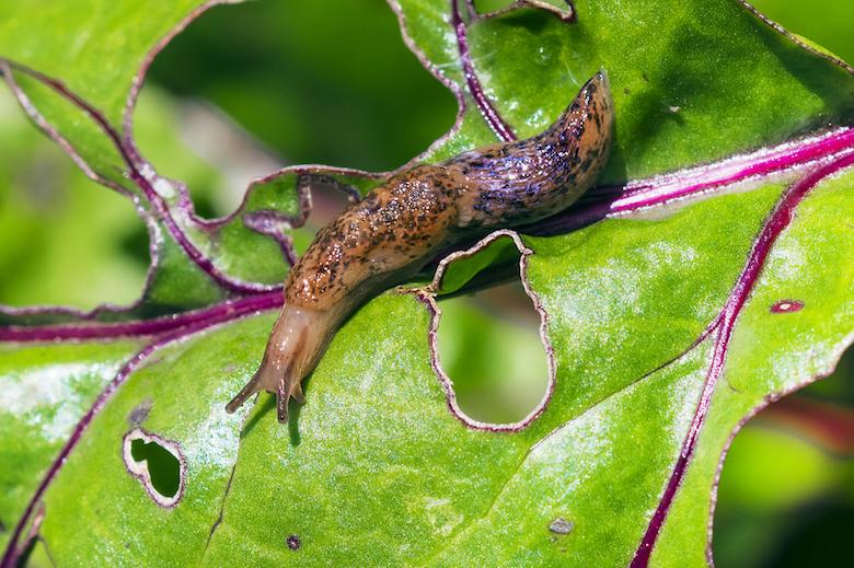 slug-on-leaf-with-holes