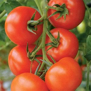 Grafted Tomato 'Philona' F1 Hybrid