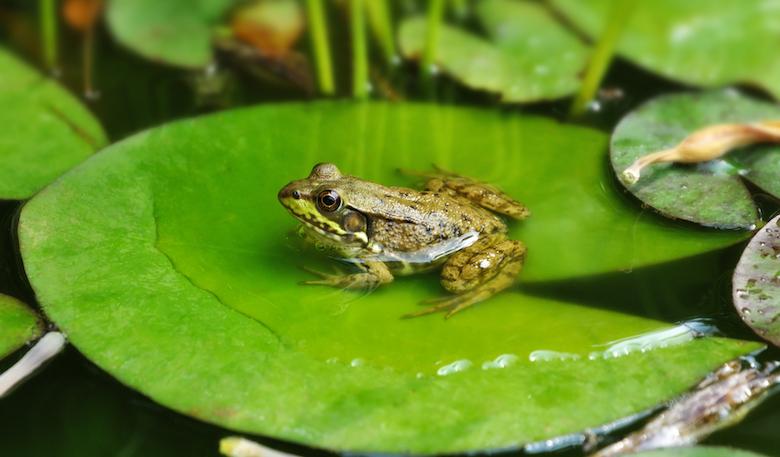 frog-on-leafpad-pond