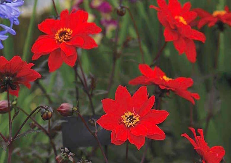 group of bishop of llandaff dahlias flowers