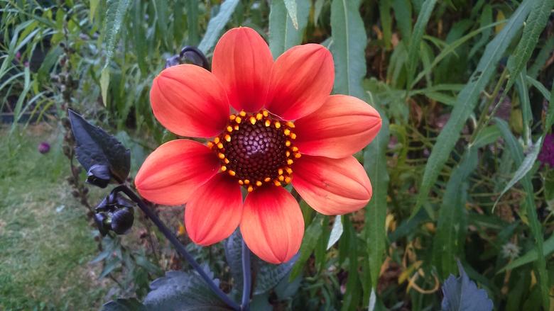 dahlia scura flower