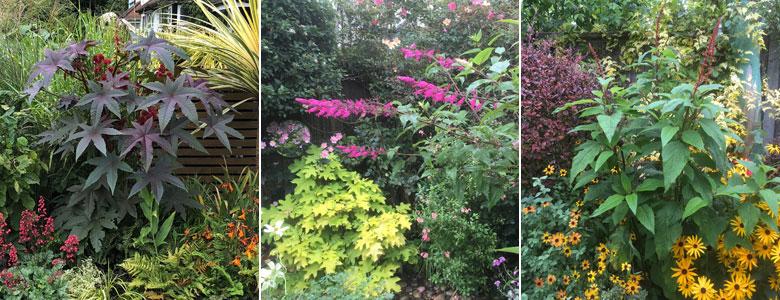 Ricinus Impala, Salvia Involucrata Boutin and Salvia Confertuflora with rudbeckias 'Prairie Glow' and 'Goldsturm'