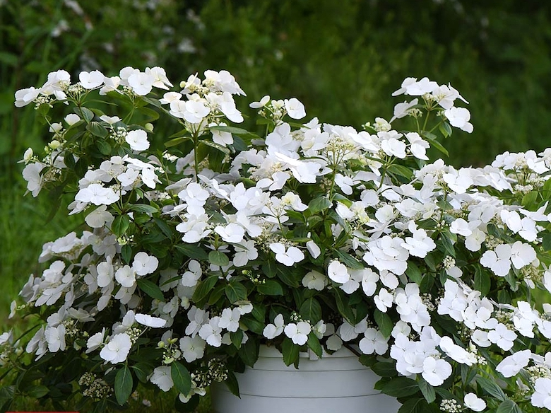 white hydrangea flowers on green foliage. Hydrangea 'Runaway Bride' available to buy from Thompson & Morgan