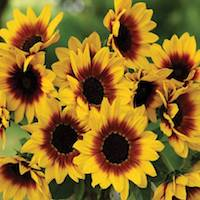 Sunflower 'Sunbelievable Brown Eyed Girl' by Thompson & Morgan - Available to buy now