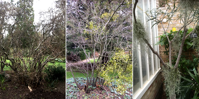 Contorted hazel, mistletoe and tillandsias at Myddleton House