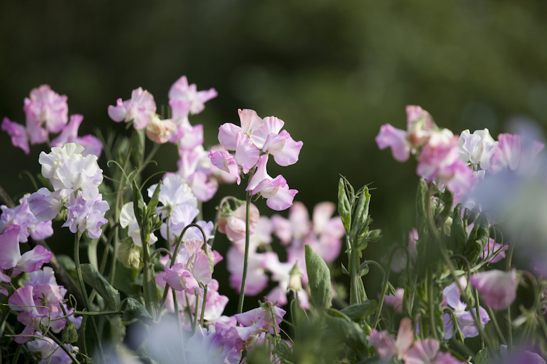 field shot of pink sweet pea flowers