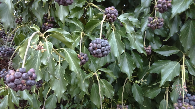 Ivy berries on ivy bush - photo from Nic Wilson at dogwooddays
