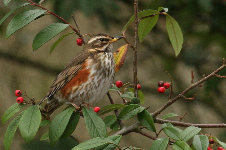 redwing sitting on a bush with red berries and green leaves - photos by Nic Wilson at dogwooddays