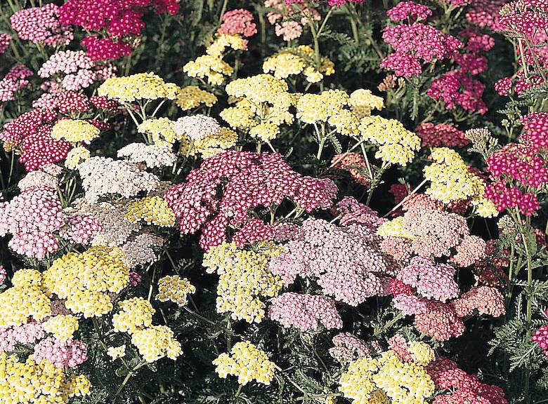 Achillea millefolium 'Summer Pastels' (Yarrow) from Thompson & Morgan - available now