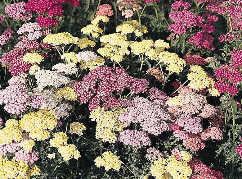 Achillea millefolium 'Summer Pastels' (Yarrow) from Thompson & Morgan - available now