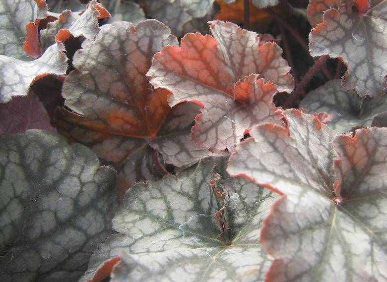 green and grey variety of heuchera - Heuchera 'Stormy Seas' available from Thompson & Morgan