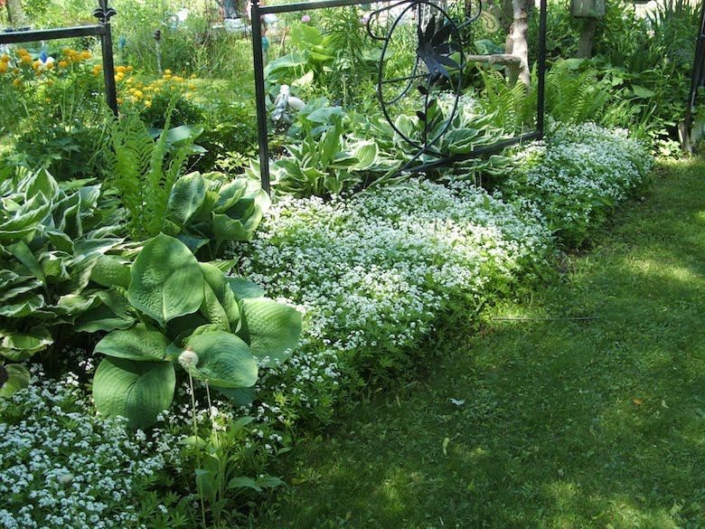 Shady border of a garden with hostas and sweet woodruff planted together