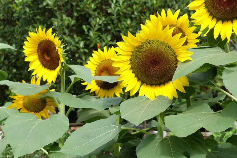 collection of sunflowers in a garden