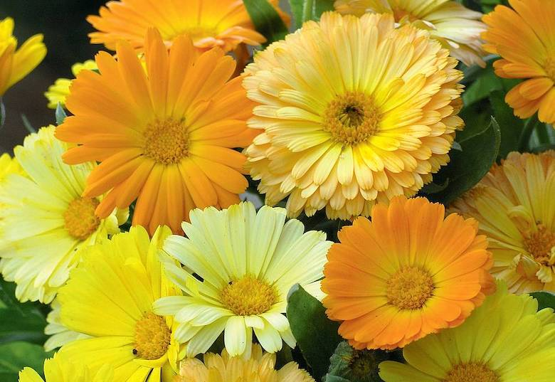 Calendula officinalis nana 'Fruit Twist' from Thompson & Morgan