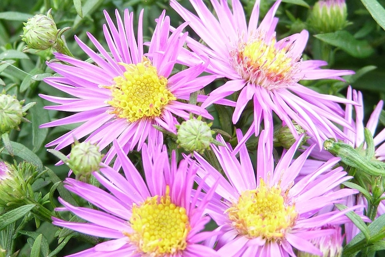 Aster novi-belgii 'Dandy' from Thompson & Morgan