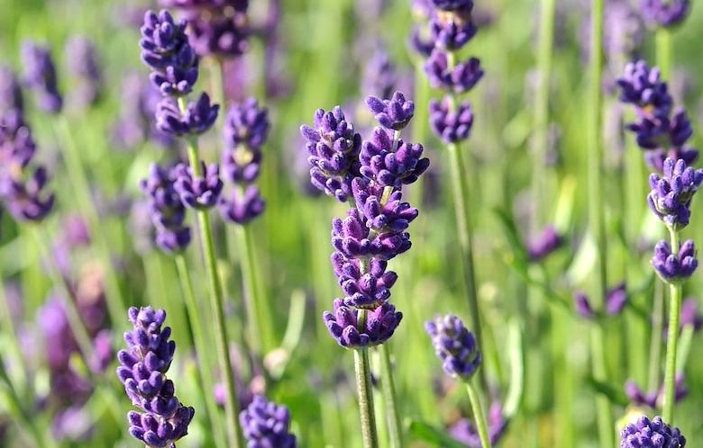 Lavender 'Hidcote' from Thompson & Morgan
