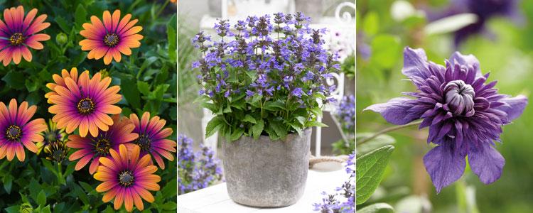 Osteospermum 'Purple Sun', Nepeta 'Neptune' and Clematis 'Kokonoe'