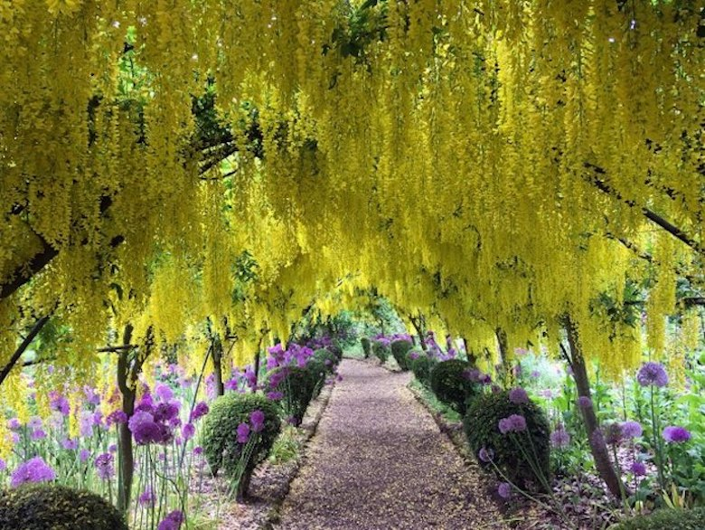 The Dorothy Clive Garden with a laburnum arch