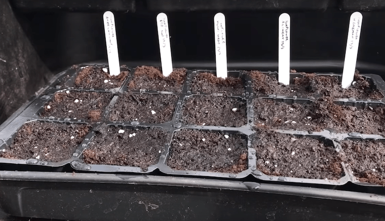 sunflower seeds sown in plastic growing tubs