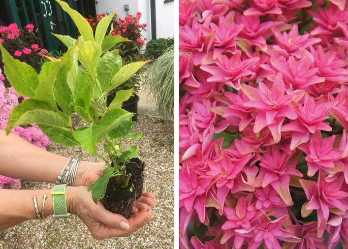Hydrangea macrophylla 'Princess Diana'