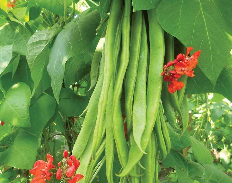 Runner Bean 'Firestorm' from Thompson & Morgan