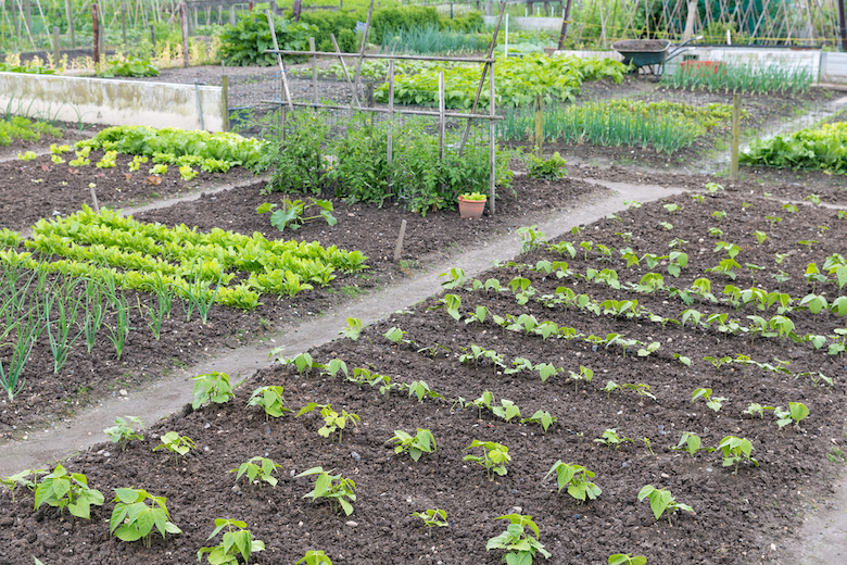 Carefully organised vegetable plot with plants in beds