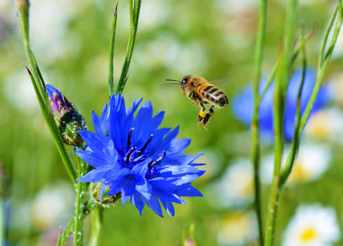 Soiltary bee on cornflower