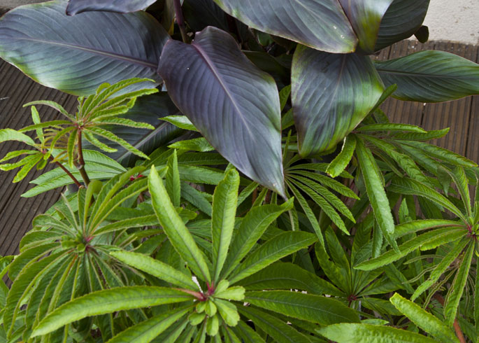 Begonia luxurians and Canna