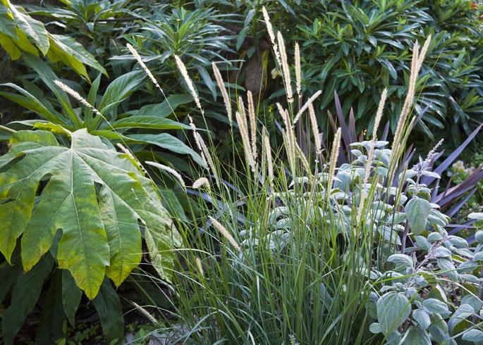 Pennisetum macrourum and Tetrapanax papyrifera