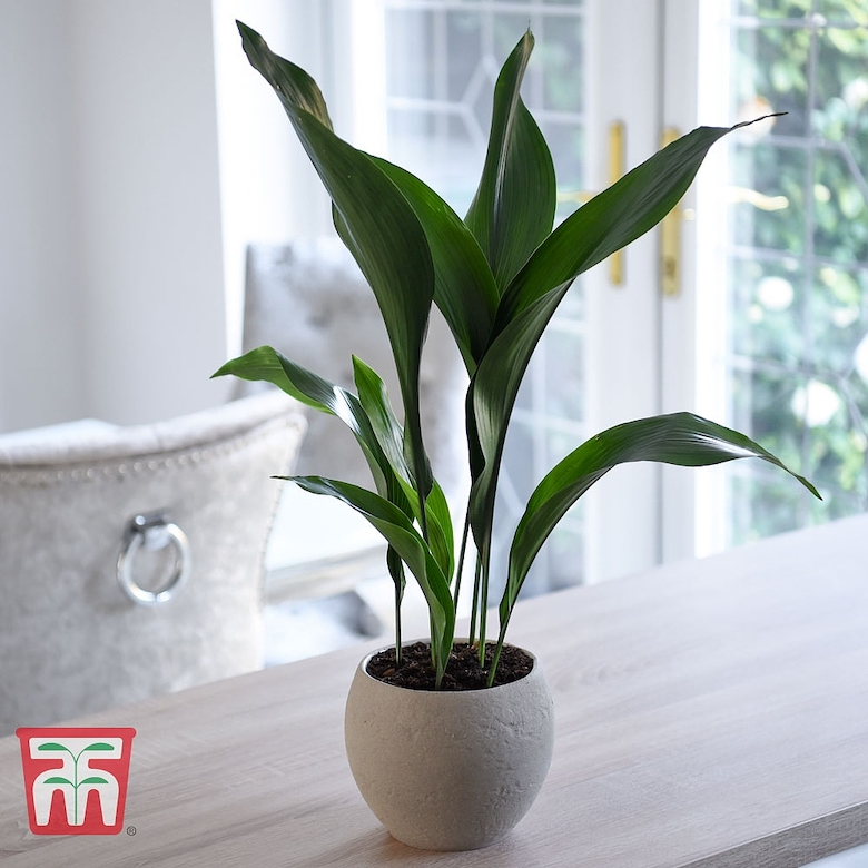 Green 'Aspidistra elatior' from Thompson & Morgan