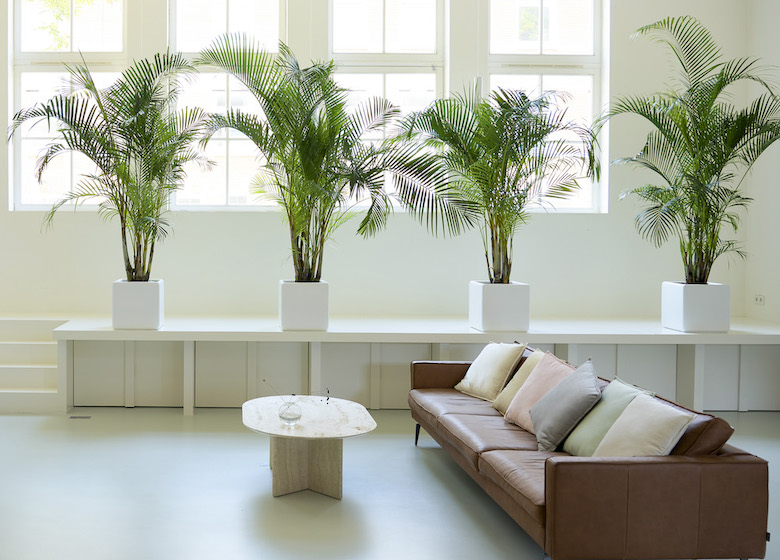 Four large fern plants in an airy living room