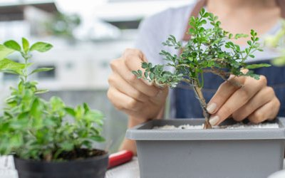 Essential Tips for Growing Indoor Bonsai Trees