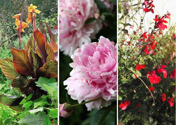 Canna, Peony and Salvia