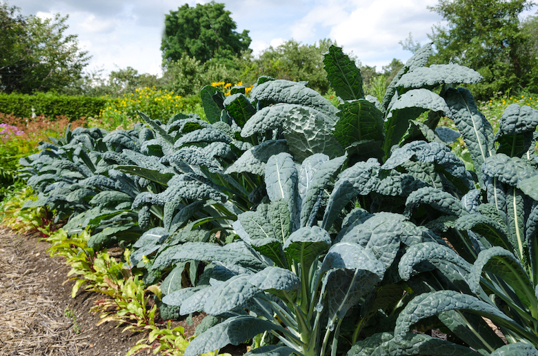 Kale growing in an allotment