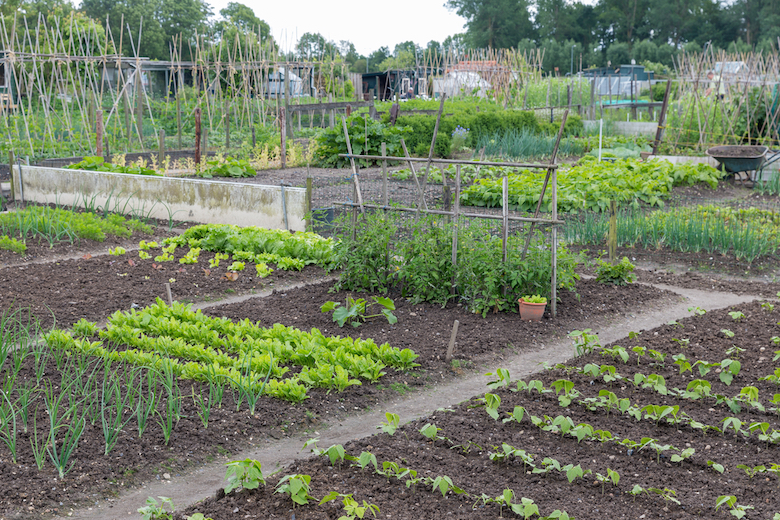 Allotment with full beds and plenty of veg to harvest