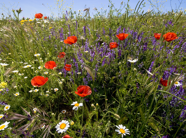 Guerilla gardening with poppies and various other wildflowers