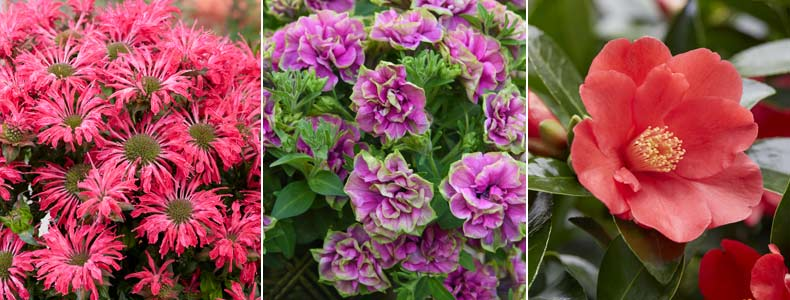 Monarda 'Electric Neon Pink', Petunia Frills & Spills 'Darcey Rosa' © and Camellia '1001 Summer Nights' Jasmine <br />©Walter Blom / Visions BV, Netherlands, ©Thompson & Morgan and ©De Jong Plant BV/ Visions BV, Netherlands