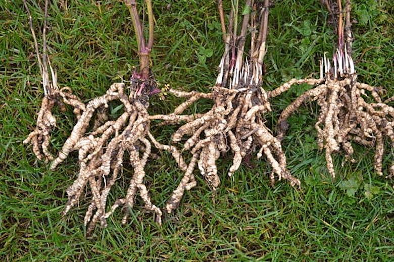 Tangled tubers of skirret plant