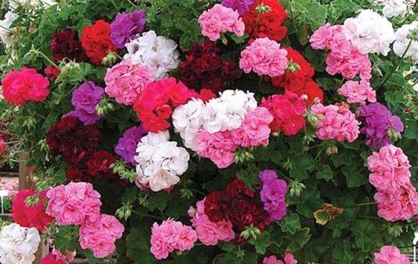 Géranium 'Rosebud Collection' dans un panier suspendu.