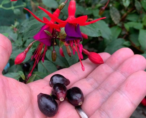 Fuchsia berries on a hand