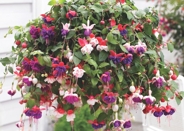 Fuchsia trailing pre-planted pot from Thompson and Morgan