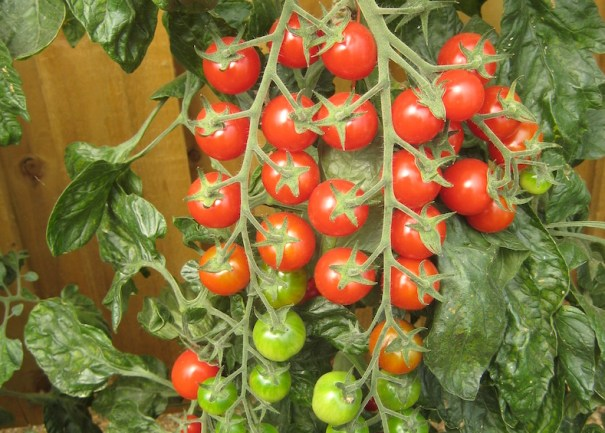 Tomato 'Sugar Gloss' F1 Hybrid from Thompson & Morgan