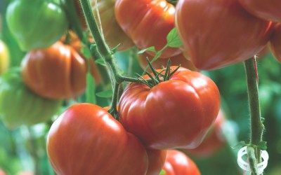 Tomatoes masterclass: best expert content