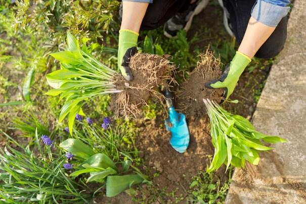 Dividing hostas garden