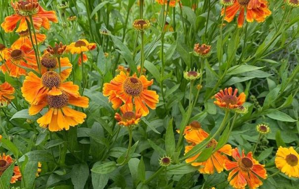 Closeup of orange Helenium flowers