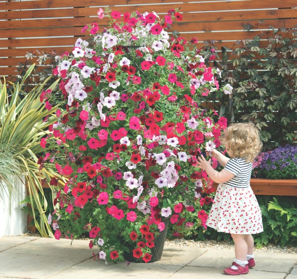Petunia 'Tidal Wave Improved' from T&M